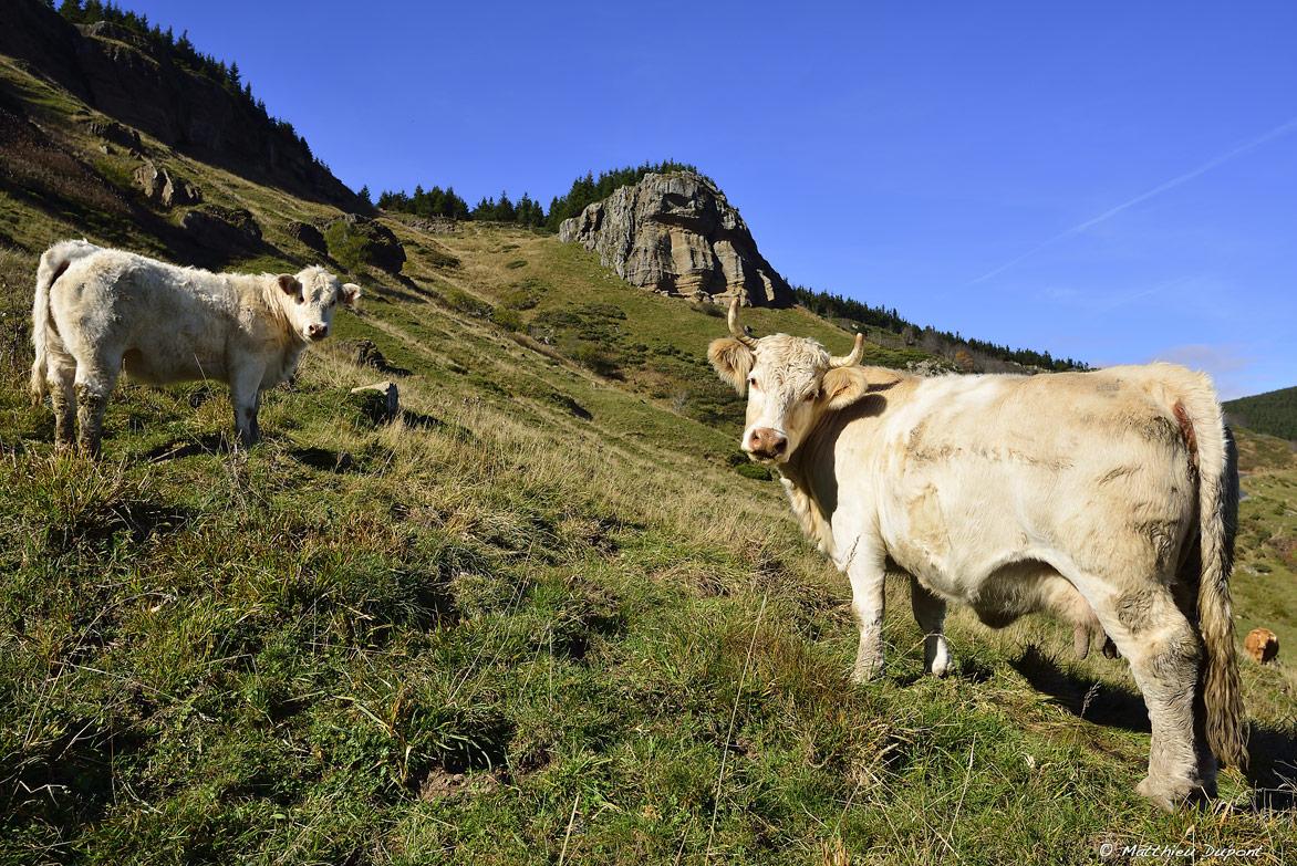 vaches-mezenc-ardeche-matthieu-dupont